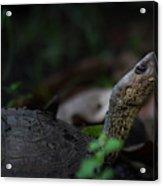 Turtle's Neck 1 Acrylic Print
