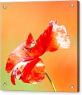 Tuscan Poppy Acrylic Print