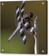 Twelve-spotted Skimmer Acrylic Print