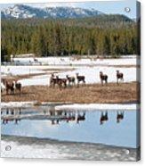 Twice The Elk Acrylic Print