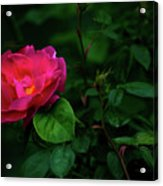 Twilight Rose Acrylic Print