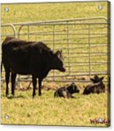 Twin Calves Acrylic Print