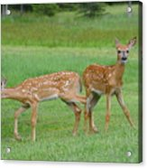 Twin Fawns Playing Acrylic Print