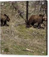 Twin Grizzlies-signed-#3299 Acrylic Print