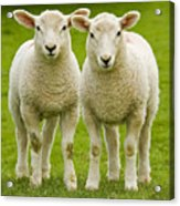 Twin Lambs Acrylic Print by Meirion Matthias