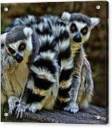 Twin Lemurs Acrylic Print