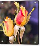 Twin Roses Of Love Acrylic Print