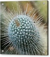 Twin Spined Cactus Acrylic Print