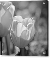 Twin Tulips B/w Acrylic Print