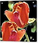 Twin Tulips Acrylic Print