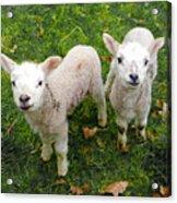 Twins - Spring Lambs Acrylic Print