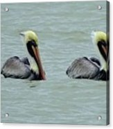 Twins Brown Pelican In Gulf Of Mexico Acrylic Print