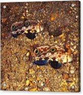 Twinspot Goby Pair , Signigobius Acrylic Print