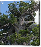 Twisted And Gnarled Bristlecone Pine Tree Trunk Above Crater Lake - Oregon Acrylic Print by Christine Till
