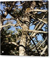 Twisted Branches Acrylic Print