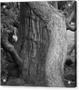 Twisted Old Tree Acrylic Print