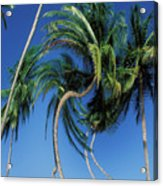 Twisted Palms On The Island Of Trinidad Acrylic Print