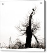 Twisted Tree With Snow Crow Acrylic Print