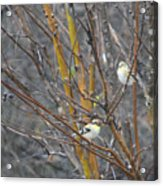 Two American Goldfinch Acrylic Print