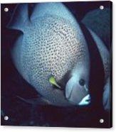 Two Angelfish Acrylic Print