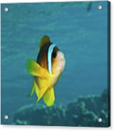 Two-banded Clownfish Acrylic Print