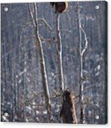 Two Bears Up A Tree Acrylic Print