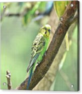Two Beautiful Yellow Parakeets In A Tree Acrylic Print