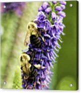 Salvia With Bees Acrylic Print