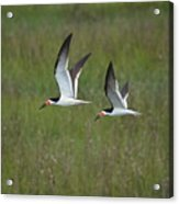 two Black Skimmers in flight Acrylic Print