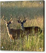 Two Black-tailed Deer In Meadow Grass Acrylic Print