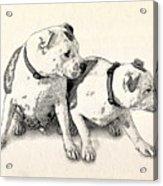 Two Bull Terriers Acrylic Print by Michael Tompsett
