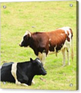 Two Bulls In A Pasture Acrylic Print