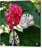 Two Butterflies Acrylic Print