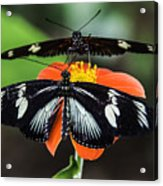 Two Butterflies-one Flower Acrylic Print