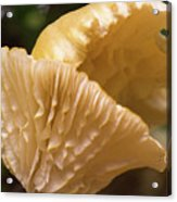 Two Cantharellus Acrylic Print
