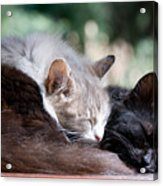 Two Cats  Sleeping  Acrylic Print