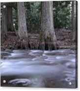 Two Ceders Next To A Mountain Stream Acrylic Print