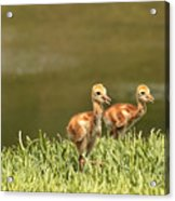 Two Chicks Acrylic Print