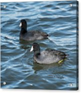 Two Coots Acrylic Print