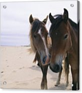 Two Curious Wild Horses On The Beach Acrylic Print by Nick Caloyianis
