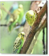 Two Cute Little Parakeets In A Tree Acrylic Print
