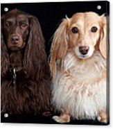 Two Dachshunds Acrylic Print by Doxieone Photography