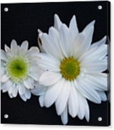 Two Daisies Acrylic Print