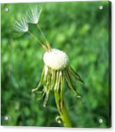 Two Dandelion Seeds Acrylic Print