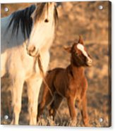 Two Days Old Acrylic Print