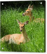 Two Deer In Tall Grass Acrylic Print
