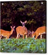 Two Doe And One Buck Acrylic Print