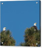 Two Eagles In Two Tree Tops Acrylic Print