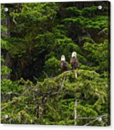 Two Eagles Perched Painterly Acrylic Print