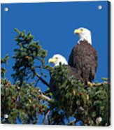 Two Eagles Acrylic Print